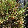 SarcocorniaFruticosa4.jpg 1024 x 768 px 225.8 kB