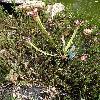 SarraceniaFarnhamii.jpg 720 x 960 px 553.02 kB