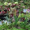 SarraceniaFlavaRugelii3.jpg 681 x 908 px 410.86 kB