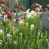 SarraceniaLeucophylla2.jpg 720 x 960 px 347.83 kB