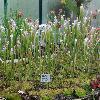 SarraceniaLeucophylla.jpg 1024 x 768 px 248.14 kB