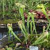 SarraceniaMinorOkefenokeensis.jpg 720 x 960 px 417.78 kB