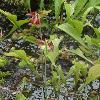 SarraceniaPsittacina4.jpg 720 x 960 px 356.23 kB