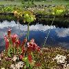 SarraceniaPurpurea2.jpg 681 x 908 px 371.04 kB
