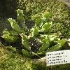 SarraceniaPurpureaPurpureaHeterophylla.jpg 637 x 849 px 136.34 kB