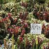 SarraceniaPurpureaVenosaBurkii.jpg 1110 x 833 px 255.52 kB