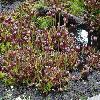 SarraceniaPurpurea.jpg 1024 x 768 px 317.74 kB