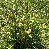 Sarracenia.jpg 1127 x 845 px 362 kB