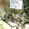 SaxifragaStolonifera.jpg 1169 x 1024 px 503.17 kB