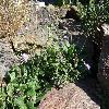 ScabiosaJaponicaAlpina.jpg 1024 x 768 px 291.07 kB