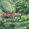 ScheffleraActinophylla2.jpg 720 x 960 px 392.71 kB