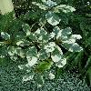 ScheffleraArboricola4.jpg 634 x 845 px 155.19 kB