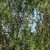 SchinusMolle3.jpg 1024 x 768 px 350.2 kB