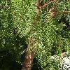 SchinusMolle4.jpg 720 x 960 px 468.03 kB