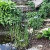 SchoenoplectusLacustris2.jpg 720 x 960 px 505.98 kB