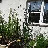 SchoenoplectusLacustris.jpg 681 x 908 px 211.41 kB