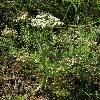 SchrenkiaGolickeana.jpg 900 x 1200 px 518.46 kB