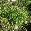 ScirpusSylvaticus2.jpg 681 x 908 px 302.71 kB