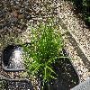 ScirpusSylvaticus.jpg 1024 x 768 px 328.06 kB