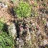 SclerocactusGlaucus4.jpg 1000 x 750 px 389.09 kB