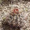 SclerocactusUncinatus.jpg 669 x 893 px 433.76 kB