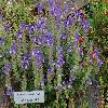 ScutellariaAlpina2.jpg 1024 x 768 px 266.65 kB