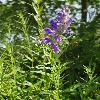 ScutellariaBaicalensis.jpg 684 x 912 px 248.61 kB