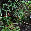 ScyphulariaPentaphylla.jpg 720 x 960 px 403.64 kB