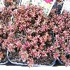 SedumAlbumLaconicumMinor.jpg 1024 x 768 px 272.5 kB