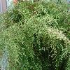 SelaginellaArbuscula2.jpg 1024 x 768 px 259.19 kB