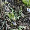 SelenicereusAnthonyanus2.jpg 1024 x 768 px 252.69 kB