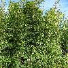 SemiarundinariaFastuosa.jpg 720 x 960 px 622.22 kB