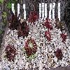 Sempervivum2.jpg 920 x 444 px 166.6 kB