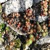 SempervivumAffine.jpg 640 x 480 px 292.08 kB