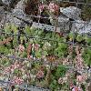 SempervivumAngustifolium2.jpg 1024 x 768 px 218.49 kB