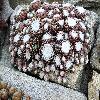 SempervivumArachnoideum5.jpg 1098 x 820 px 269.94 kB