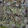 SempervivumArachnoideumDoellianum2.jpg 1024 x 768 px 305.58 kB