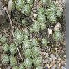 SempervivumArachnoideumDoellianum.jpg 1127 x 845 px 215.34 kB