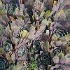 SempervivumBowlesGiant.jpg 640 x 480 px 236.3 kB