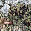 SempervivumFinerpointte.jpg 640 x 480 px 287.79 kB