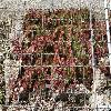 SempervivumGazelle.jpg 1024 x 768 px 332.58 kB