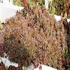 SempervivumGlobiferumArenarium.jpg 1000 x 524 px 140.94 kB