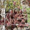 SempervivumLancelot.jpg 1024 x 768 px 281.95 kB