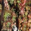 SempervivumMalbysHybridNo1.jpg 640 x 480 px 271.62 kB