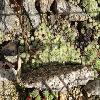 SempervivumOpitzii.jpg 640 x 480 px 264.78 kB