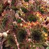 SempervivumTurmalin.jpg 1000 x 899 px 227.59 kB