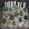 Sempervivum.jpg 935 x 559 px 199.27 kB