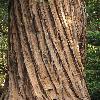 SequoiaSempervirens13.jpg 797 x 1200 px 577.53 kB