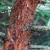 SequoiaSempervirens2.jpg 720 x 960 px 413.08 kB