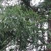 SequoiaSempervirens4.jpg 1024 x 768 px 279.59 kB